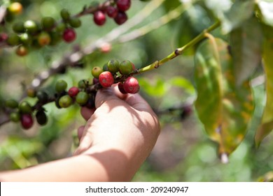 Coffee tree with ripe berries on organic farm harvested by hand. Food and drink coffee background.