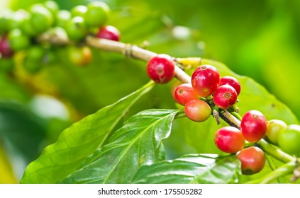 Coffee tree with ripe and raw berries on the branch at plantation