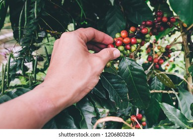 Coffee tree,Arabica coffee berries with agriculturist hands,Hand picking red Arabica coffee beans on coffee tree