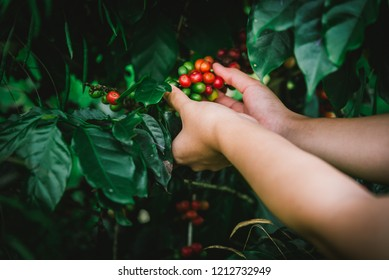 Coffee tree,Arabica coffee berries with agriculturist hands,Hand picking red Arabica coffee beans on coffee tree,Vintage tone.