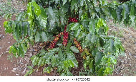 Coffee - Young coffee plantation at farm. First bloom. Concept Image