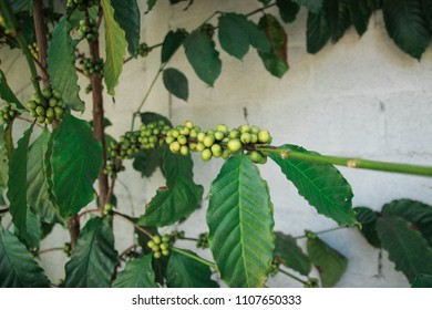 Coffie natue at thailand