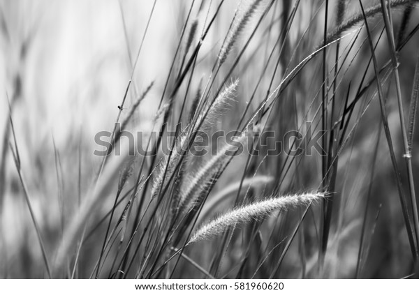 Cogon grass in black and white with bokeh background