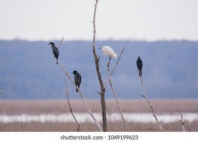 cohabitation between a Little egret and Pygmy cormorants