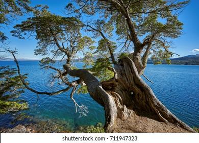 Coihue or Nothofagus  Tree on Alumine Lake, Villa Pehuenia, Neuquen, Patagonia, Argentina