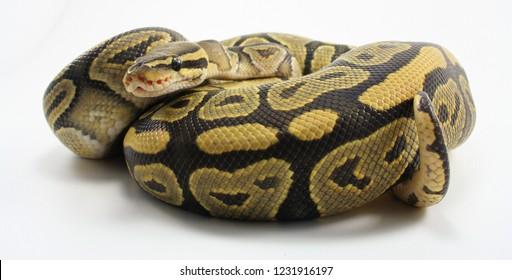 Coiled Ball python