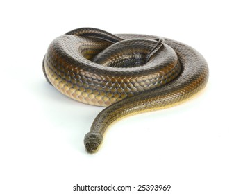 Coiled black water snake