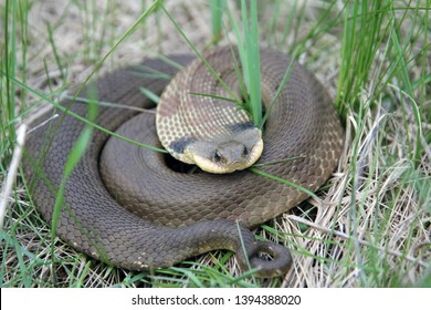 Coiled up Eastern Hognose Snake in the weeds.