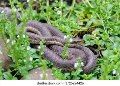 A coiled garter snake lies in the green; the greens have white blooming flowers