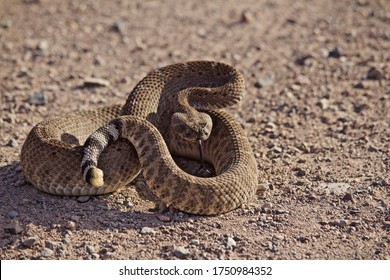 Coiled Rattlesnake closeup on gravel road