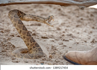 coiled rattlesnake in sand by toe of leather boot