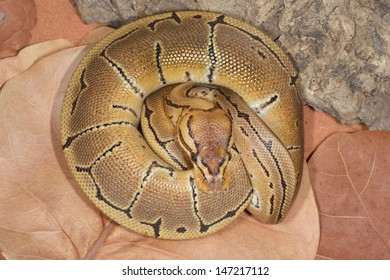 Ball Python Images, Stock Photos & Vectors | Shutterstock