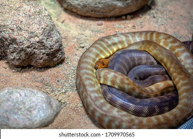 coiled snake Woma python between stones