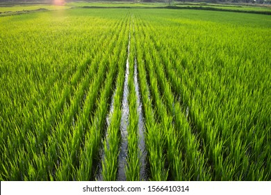 COIMBATORE , INDIA - NOVEMBER 14 2019 beautiful landscape growing Paddy rice field crop  agricultural transplant wet farming land for seasonal harvesting south India tamilnadu