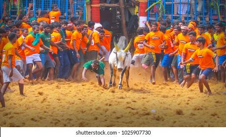Coimbatore, Tamil Nadu / India 01.28.2018 Jallikattu in Coimbatore 2018