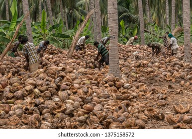 Coimbatore, Tamil nadu/ India- April-11-2019. coconut de-husking process is done by many farm labours.