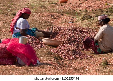 Coimbatore, Tamil Nadu, India, March 26, 2017: Red Onions Manually Harvesting At Rural Areas Around Coimbatore, Tamil Nadu, India