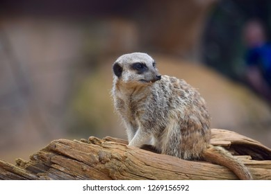 Colchester, England - August 29 2017: A meerkat at Colchester Zoo.