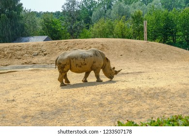 Colchester, Essex, uk - July 27, 2018: large single rhinoceros standing grazing in his compound at the zoo. Taken on a sunny afternoon in summer.