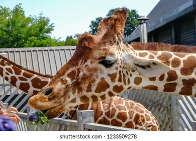 Colchester, Essex, UK - July 27, 2018: Closeup of a giraffe's head with his tongue out.  Shot at feeding time at the zoo.