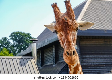 Colchester, Essex, UK - July 27, 2018: Closeup of a giraffe's head close up looking straight towards the camera.