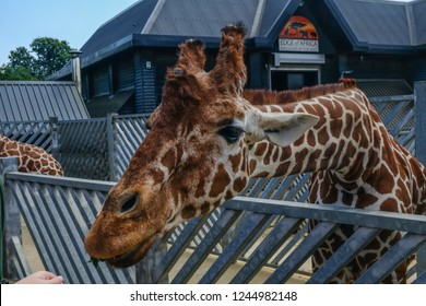 Colchester Zoo, Essex, UK - July 27 2018:  Giraffe's head and long neck stretching across metal railings to reach out to fresh leaves being offered at feeding time.