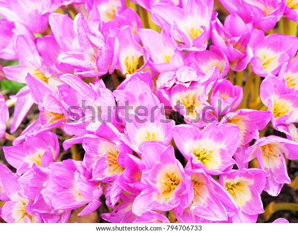 Colchicum Pink Flowers Family Colchicaceae Common Stock Photo
