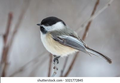 Cold Black-Capped Chickadee.  TIFFT Nature Preserve, Buffalo, New York, USA, February 9th 2018