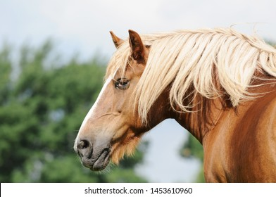 cold blooded horse standing on pasture and looking