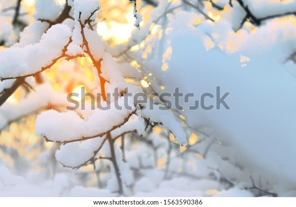 A cold frosty day in the forest. A lot of soft fluffy white snow on the branches. The sun shines brightly. Trees, sky, bokeh blurred background.