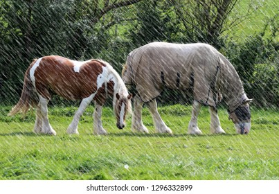 A cold, rainy weather  two shire horses in the fields,a foal and mother, wrapped up and have got her coat on.