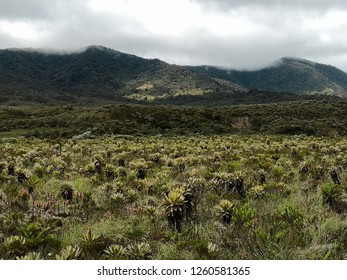 Cold weather at a national natural park in Colombia with paramo ecosystem. High mountain neotropical biome with endemic biodiversity of frailejones, Espeletia, and mosses. Protected area.