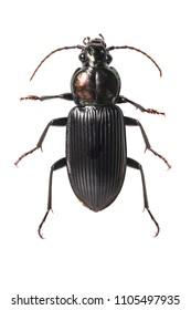 Coleoptera Carabidae ground beetle isolated on white background
