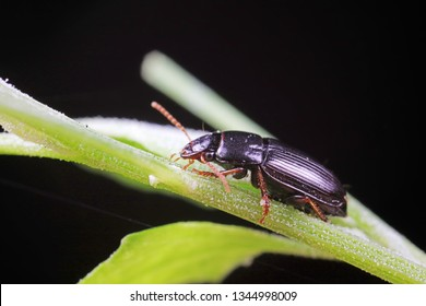 Coleoptera Carabidae Insects in Nature