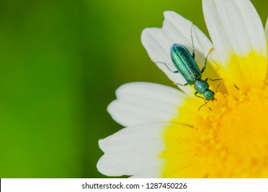 Coleoptera Green Beetle. Jewel.