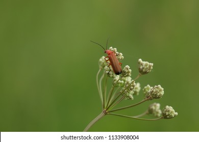 coleoptera meloidae blister beetle