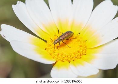 A coleoptera on a daisy flower. Jewel beetle.