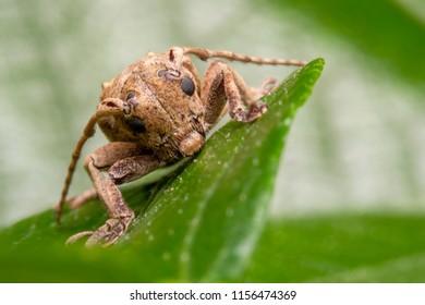 Coleoptera-Cerambycidae beetle on sugar cane.