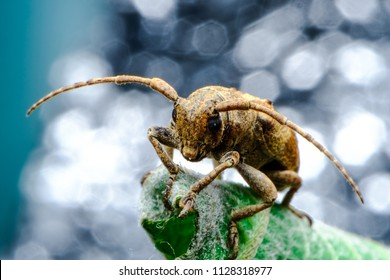 Coleoptera-Cerambycidae is a plant in sugar cane. Coleoptera-Cerambycidae worm is in the soil 1-2 years to live in the sugarcane trunk. And bites eat in sugar cane and will eat the sugar cane.
