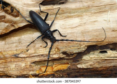 coleopterous, insect