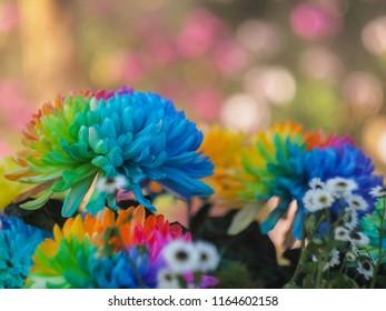 Colerful blossom Chrysanthemum