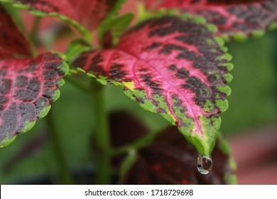 Coleus blumei after rain. Scientific name is Plectranthus scutellarioides.