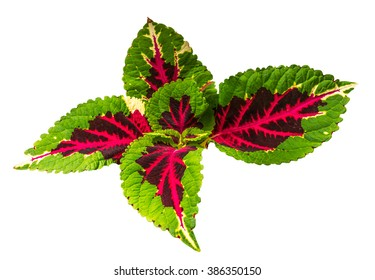 Coleus Blumei ( Solenostemon Scutellarioides ) isolated on white background