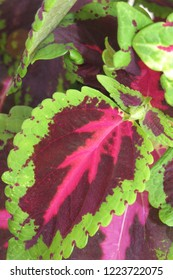 Coleus bright colorful leaves