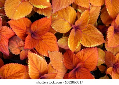 Coleus Campfire Plants, nature background top view.
