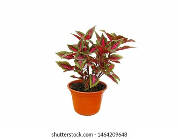 Coleus with colorful foliage of green and mauve tones in a pot, isolated over white background