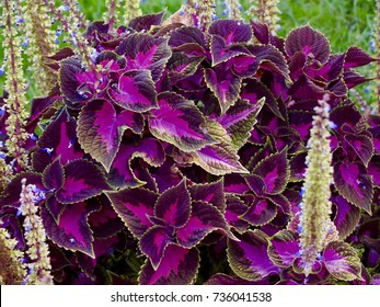 Coleus colorful plant