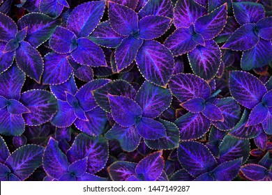 Coleus dark purple, pink and black leaves decorative background close up, painted nettle plant, bright violet foliage texture, colorful abstract natural pattern, blue fantasy floral design, copy space