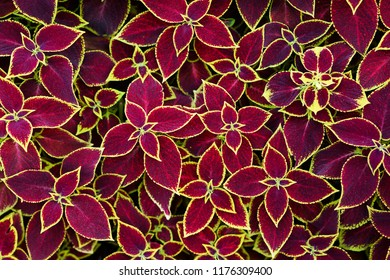 Coleus flower foliage background. Beautiful perspective of natural red coleus plant leaves in garden at summer sunny day.