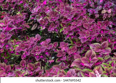 Coleus flower foliage background.Beautiful perspective of natural red coleus plant